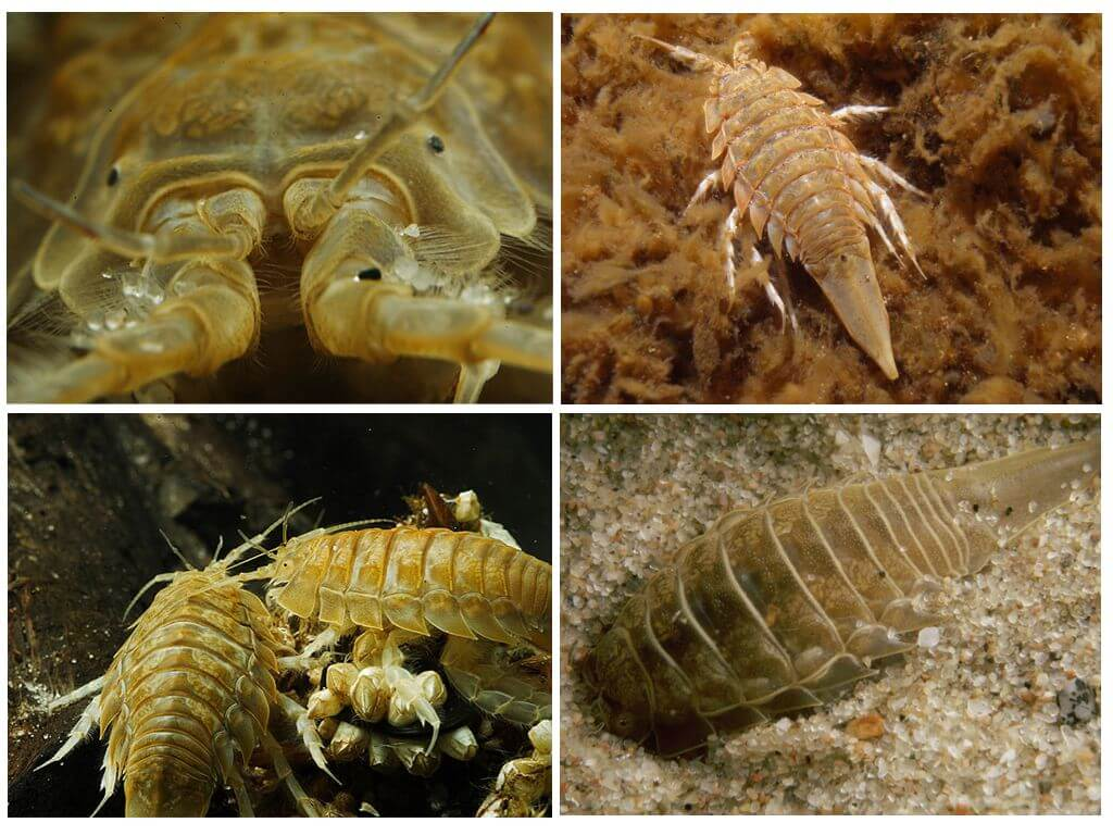 Морской таракан - это любое ракообразное существо