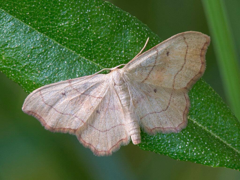 ᐉ бабочка пяденица: крыжовниковая, зимняя, обдирало, описание внешнего вида с фото - orensad198.ru