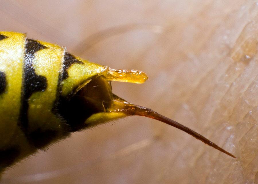 Делают ли осы мед - ответ на сладкий вопрос