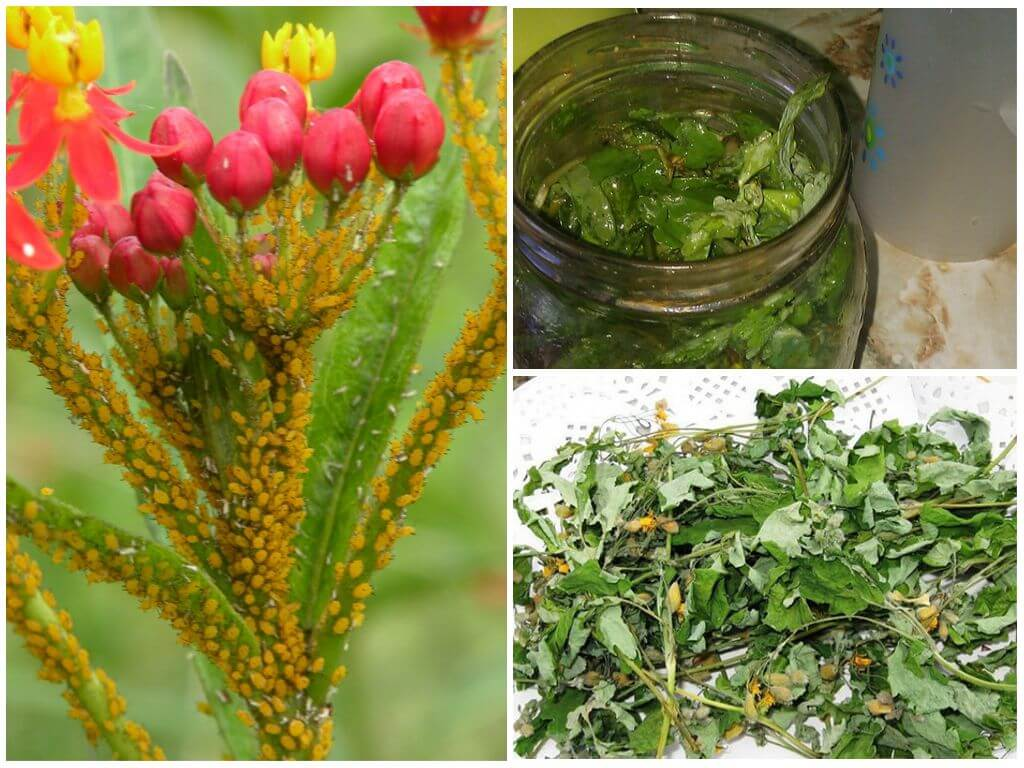 Тля на розах: народные средства и эффективные препараты для борьбы с вредителем, нашатырный спирт, уксус, сода, дегтярное мыло, йод, керосин