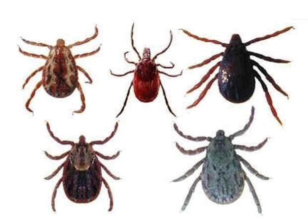21 вид клещей, паразитирующих на животных и человеке