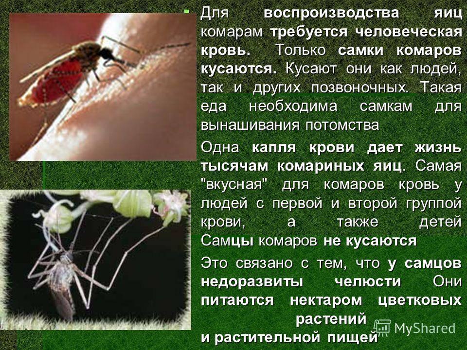 Комар-пискун — posmotre.li