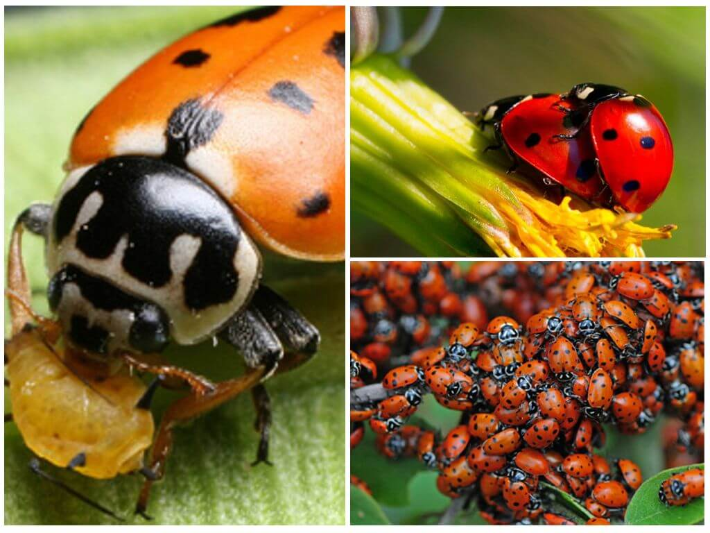 Божья коровка и тля: тип взаимоотношений и пример, а также кто кого ест из этих насекомых и что поедают личинки?