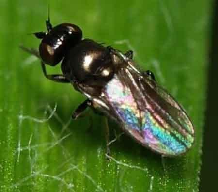 Пищевые пристрастия и особенности размножения шведской мухи