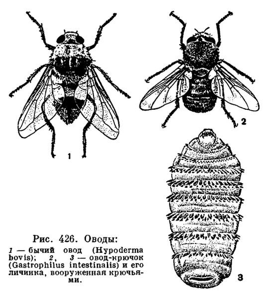 Овод насекомое: виды, описание, фото