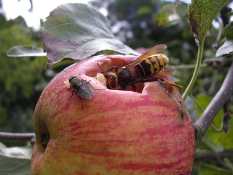 Чем питаются осы в природе и кто ест их, что едят в домашних условиях?