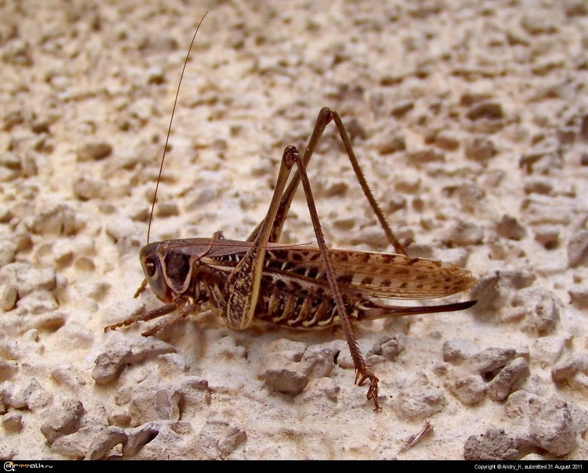 Меры борьбы с саранчой в зависимости от вида: гигантская, пустынная, азиатская, марокканская | топ сад