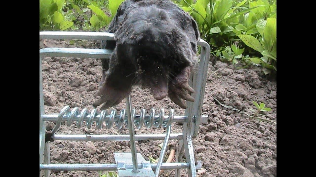 Как избавиться от кротов на садовом участке навсегда