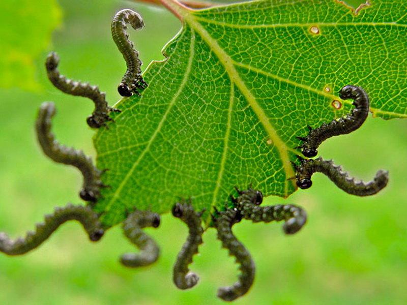 Борьба с гусеницами в саду и огороде – чем обрабатывать растения – дачные дела
