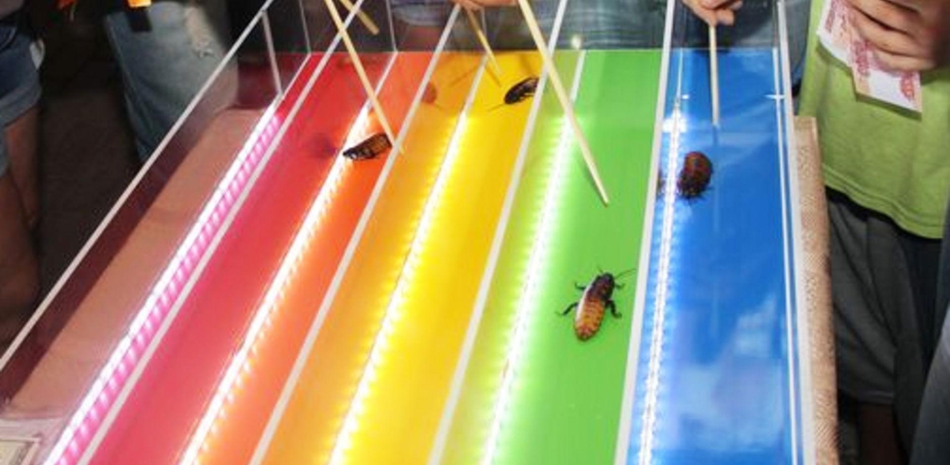 Тараканьи бега: для любителей острых ощущений, правила и варианты забегов, почему это развлечение популярно