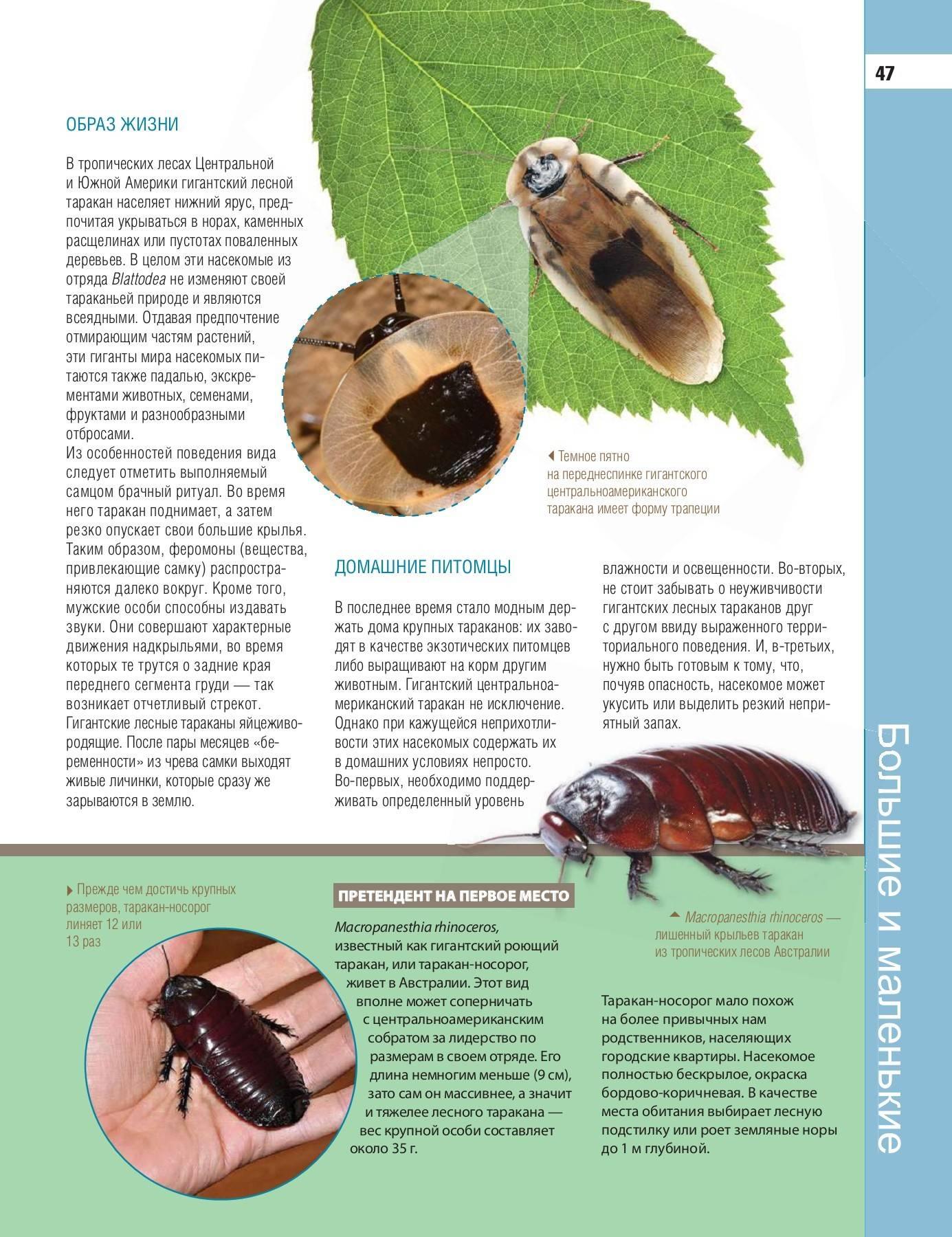 Личинки тараканов: фото и описание