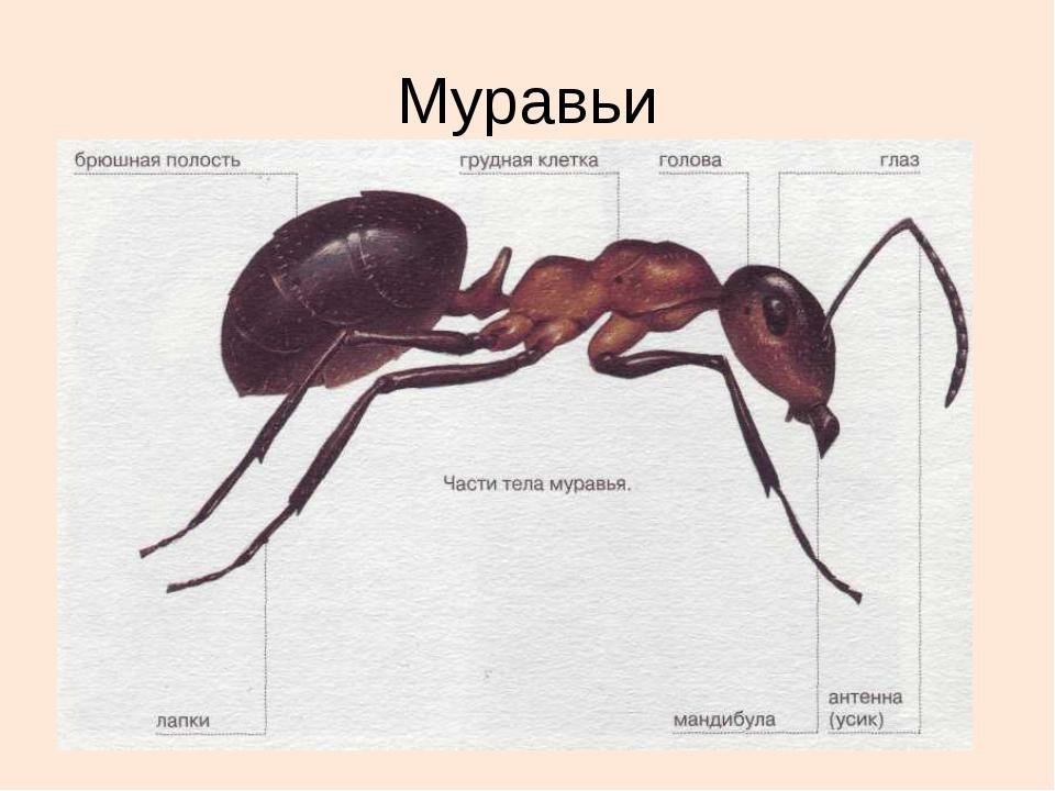 Муравей насекомое. образ жизни и среда обитания муравья