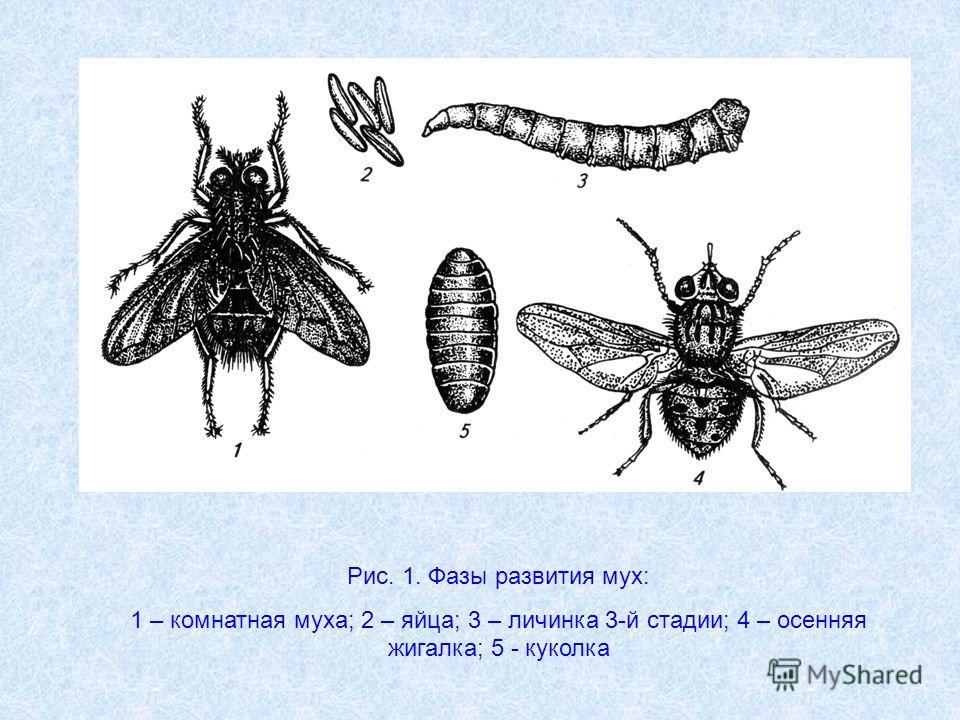 Вольфартова муха: паразит на тканях человека и животных
