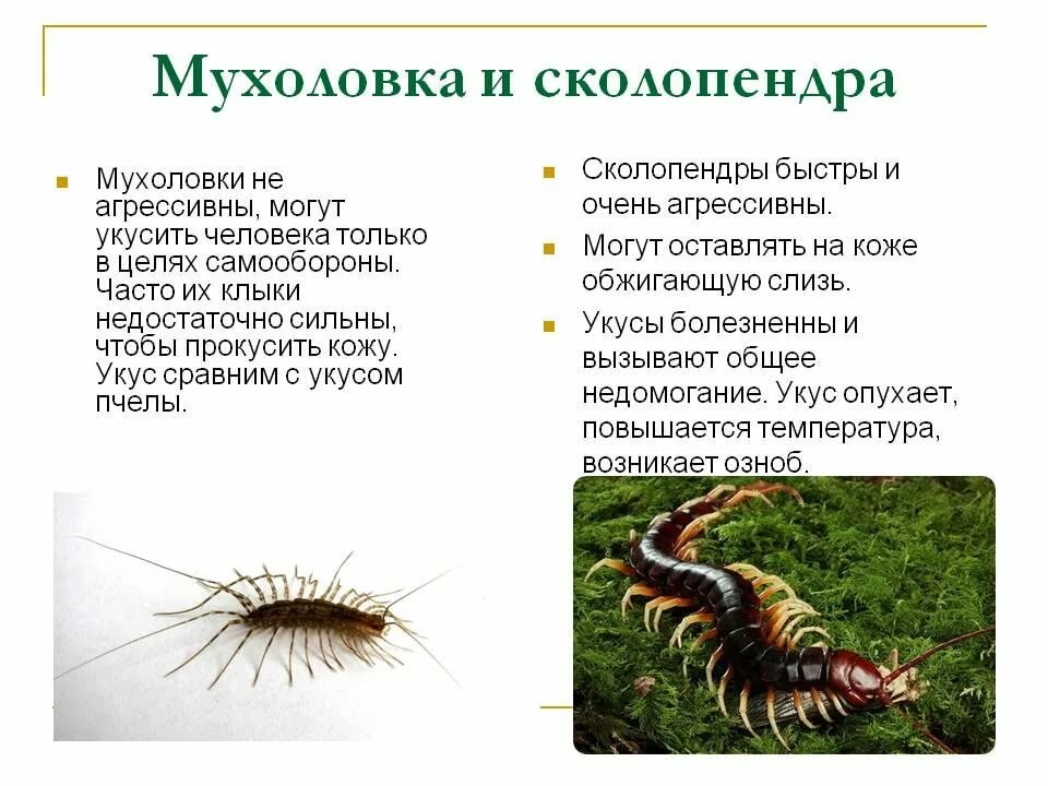 Насекомое многоножка или сороконожка: особенности вида