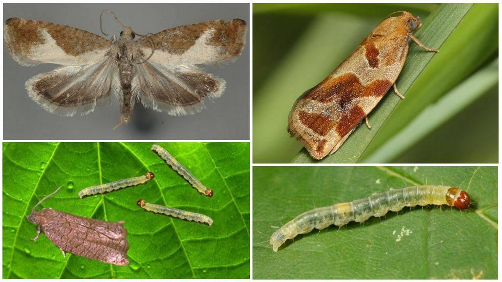 Листовертка – виды вредителя и методы борьбы, плодожорка, препараты от листовертки