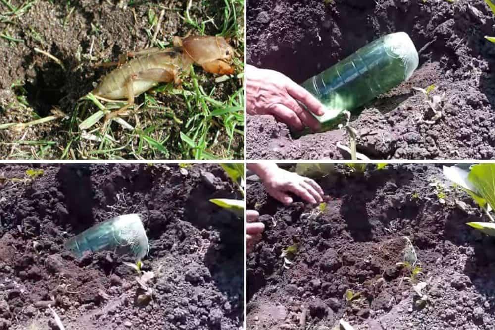 Как избавиться от сверчков на огороде. как вывести сверчков из квартиры