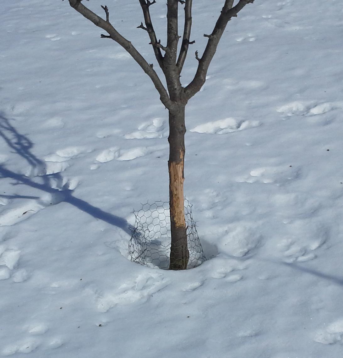 Эффективные способы защиты яблонь от грызунов зимой