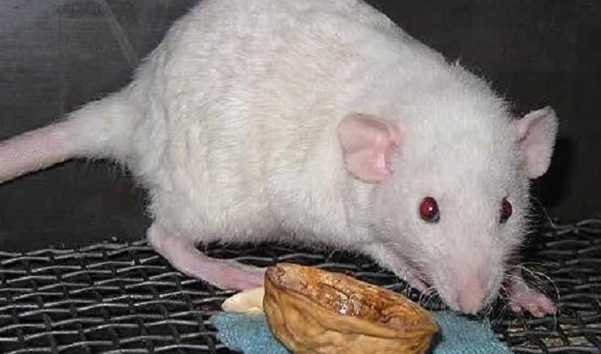 Что делать, если вас укусила крыса