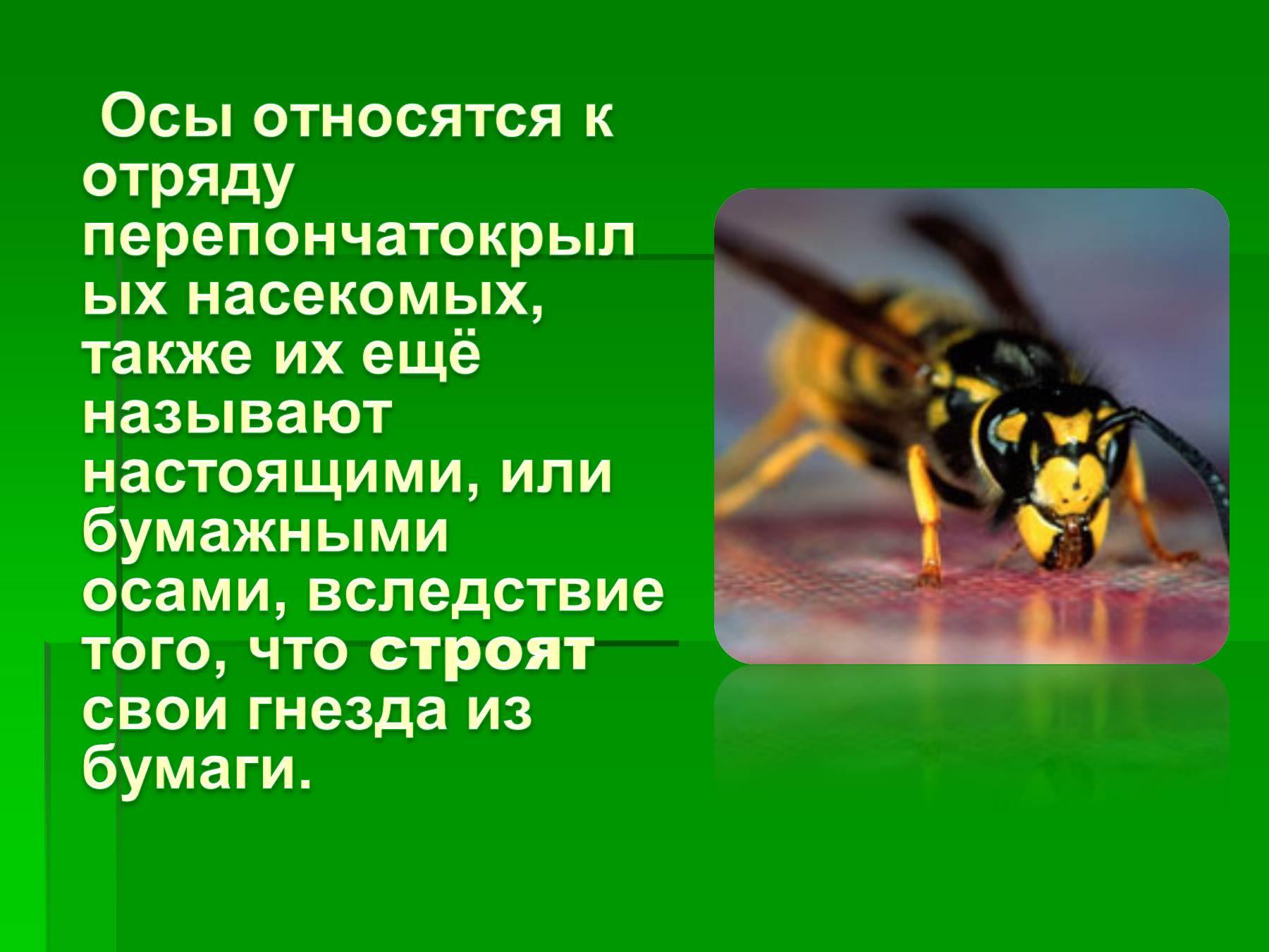 Чем отличается пчела от осы: фото примеры, укусы, внешние признаки