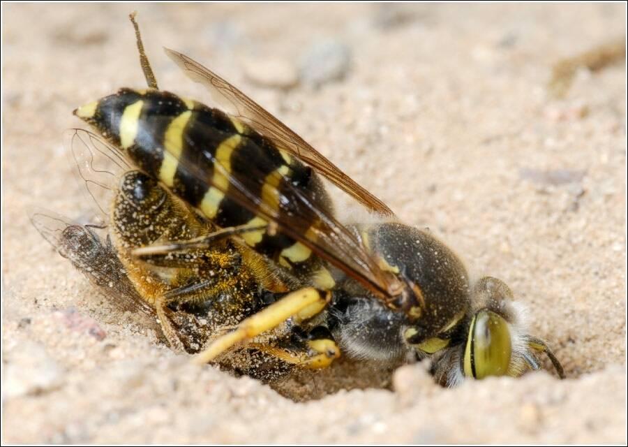 Земляные осы на даче — как избавиться?