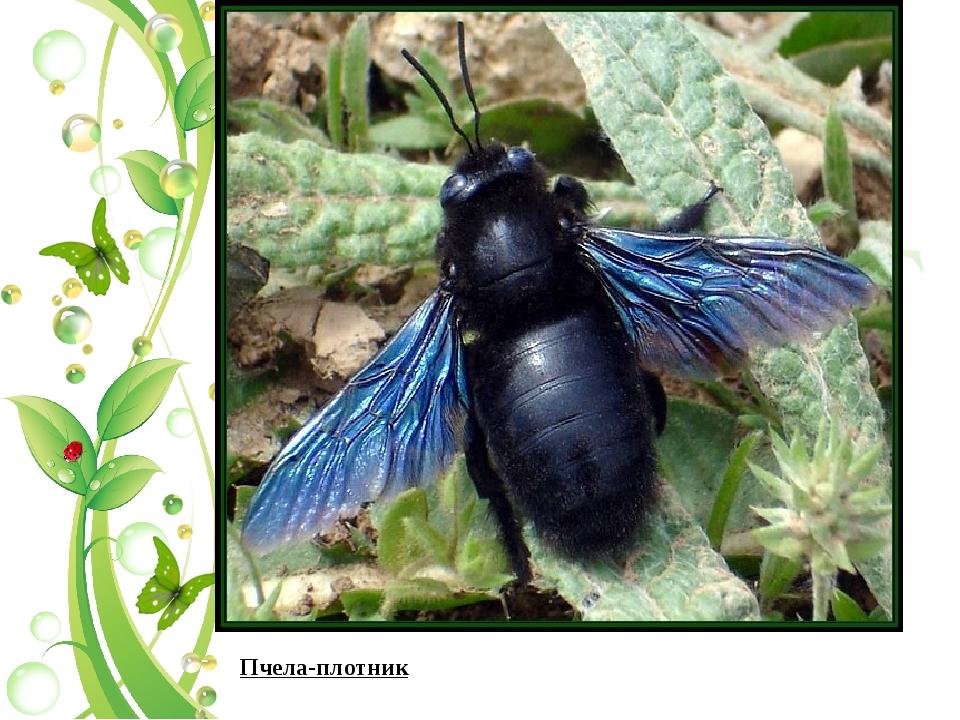 Пчела плотник: обыкновенная и древесная, описание, особенности