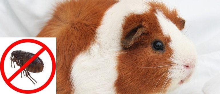 Бывают ли блохи у морских свинок? Как вывести, какое средство для лечения выбрать?