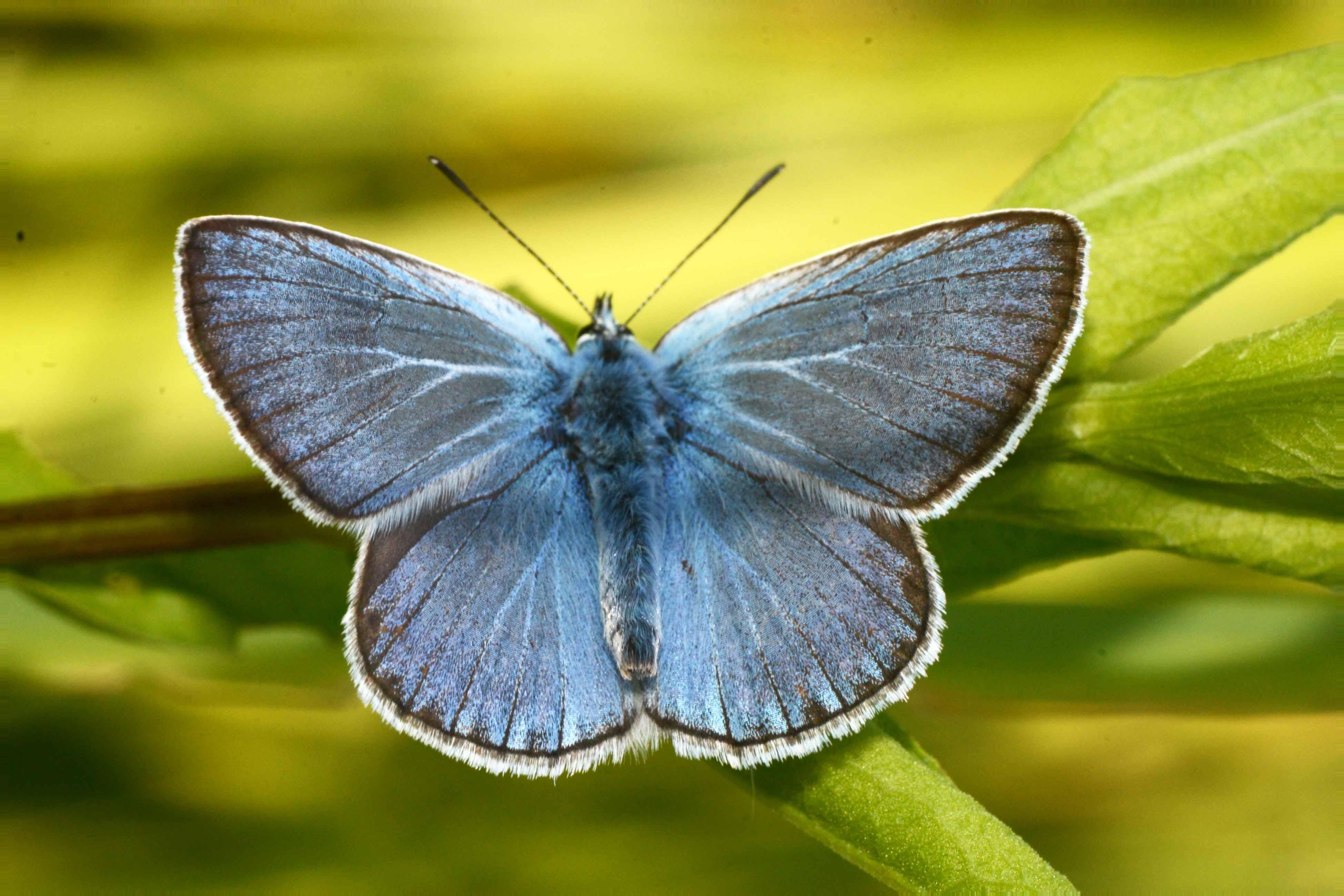 Голубянка бабочка. образ жизни и среда обитания бабочки голубянки - jurnalodache