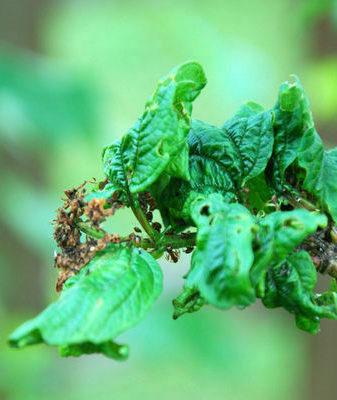 ✅ как бороться с вредителями калины. чем обработать калину от вредителей и тли? - живой-сад.рф