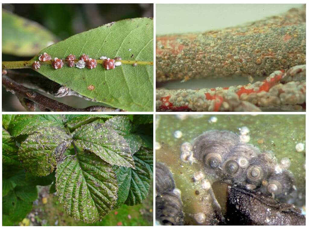 Щитовка на комнатных растениях: как бороться с вредителем?
