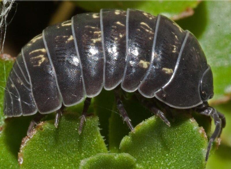 Кто такая мокрица – знакомство с вредителем и его домашними видами. аэрозоли с активным инсектицидным действием