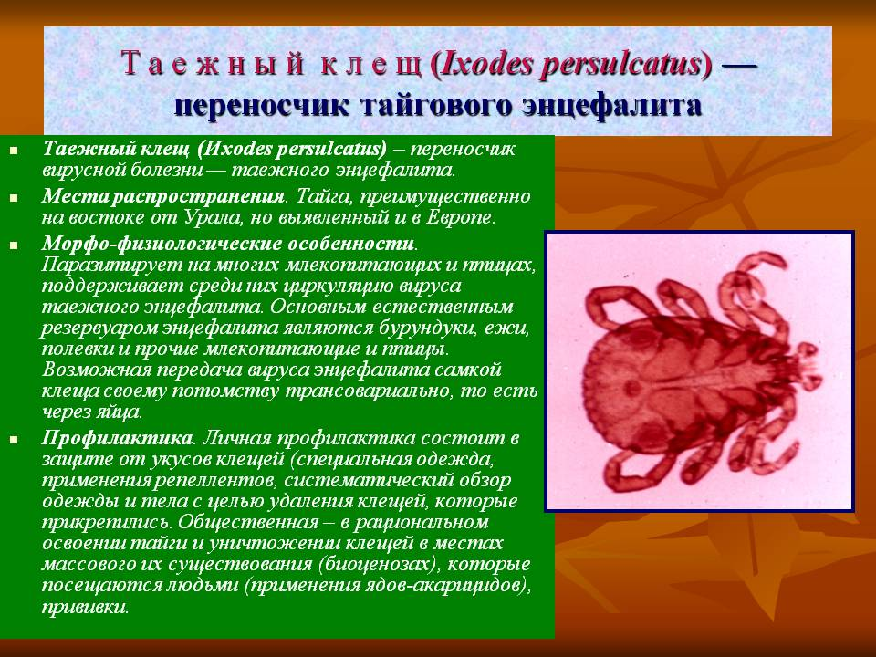 Таежный клещ: жизненный цикл и опасность укусов для человека