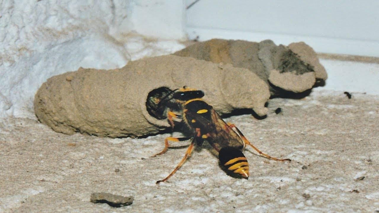 Роющая оса: как выглядит и где живет необычное насекомое