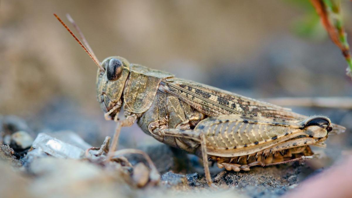 Саранча: фото, описание насекомого, чем отличается от кузнечика, наносимый вред и способы борьбы с ней русский фермер