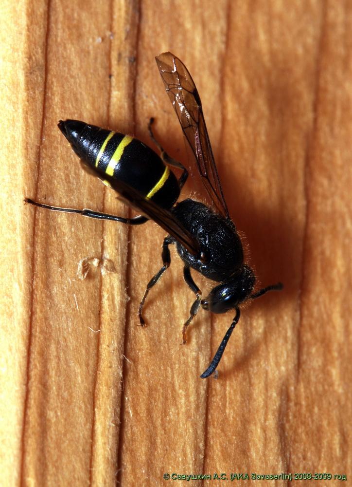 Шершень обыкновенный: как выглядит, чем отличается от большой осы, чем питаются?