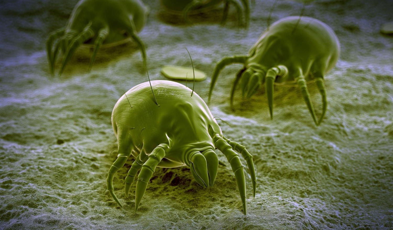 Пылевые клещи: чем опасны для человека и как обнаружить