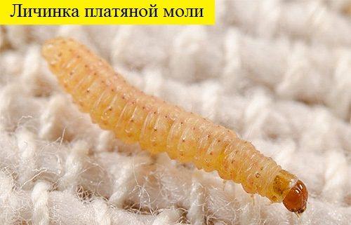 Личинка моли: как от неё избавиться, чего боится моль?