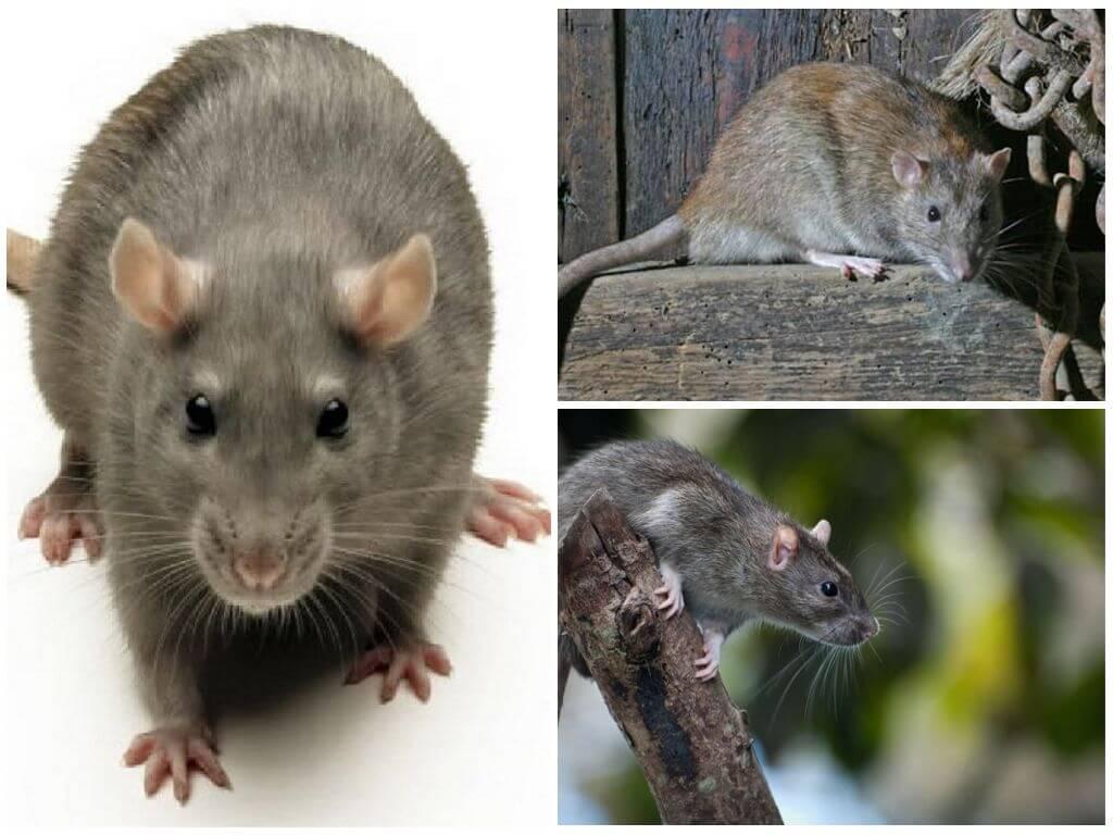 Серая крыса пасюк: фото и описание жизни обычной амбарной вредительницы