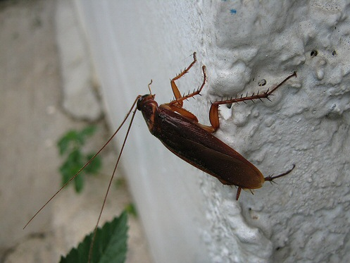 Сколько лет без еды, без воды, без головы живут домашние, рыжие, черный тараканы и прусаки?