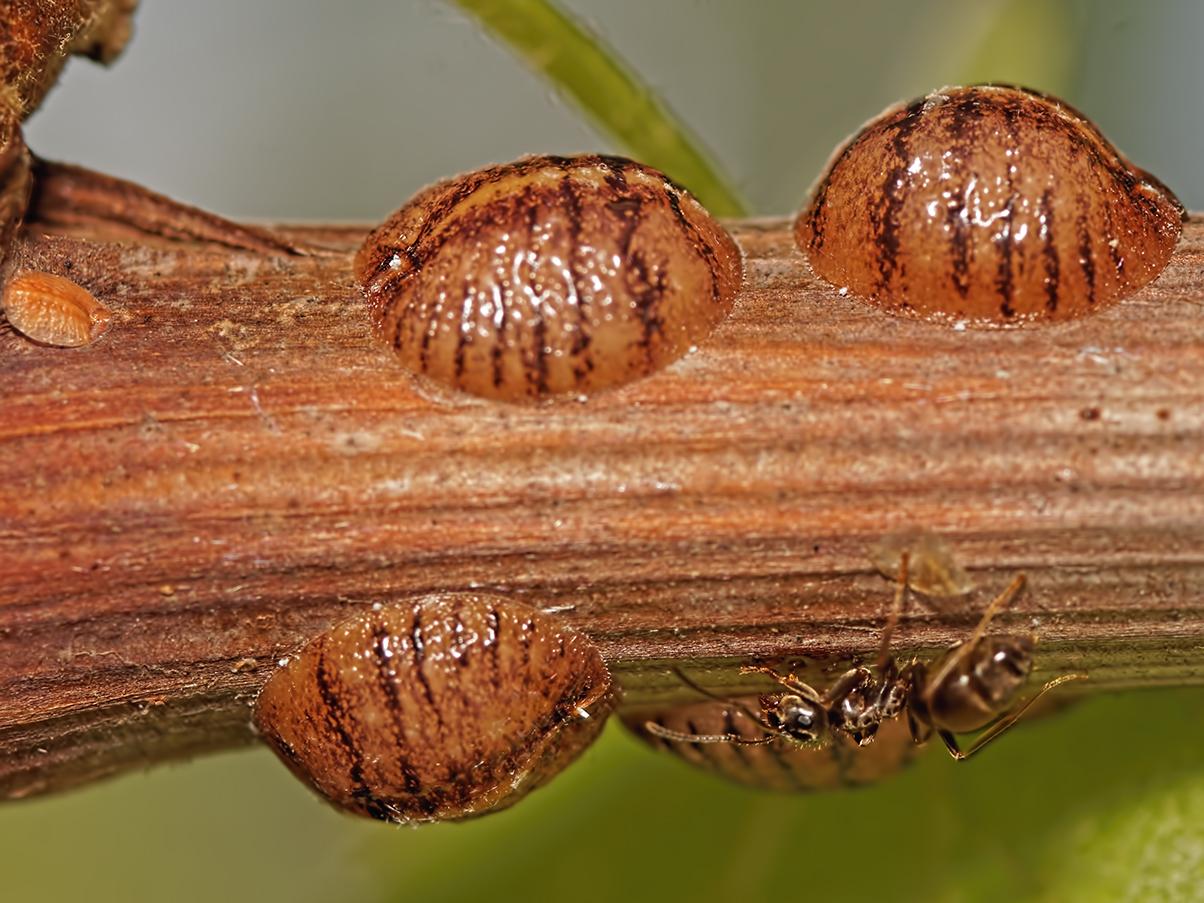 Отив насекомого;опасна ли ложнощитовка? отличие от истинной щитовки, обзор особенностей и способов борьбы с насекомым в домашних условиях