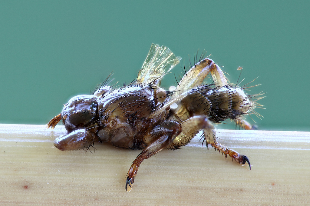 Лосиные мухи: особенности и способы борьбы с ними