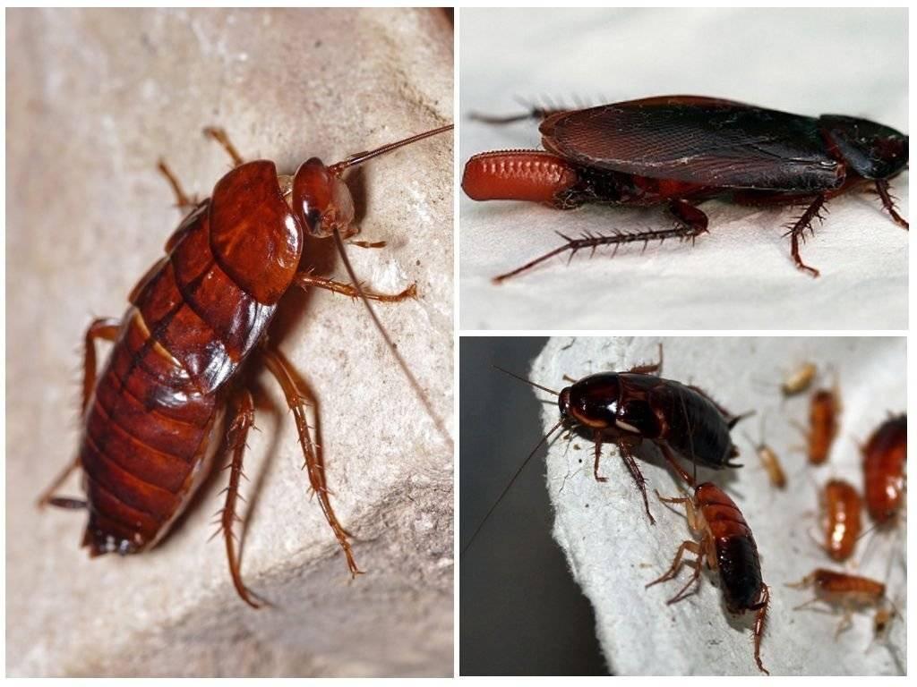 Разновидности домашних тараканов в квартире