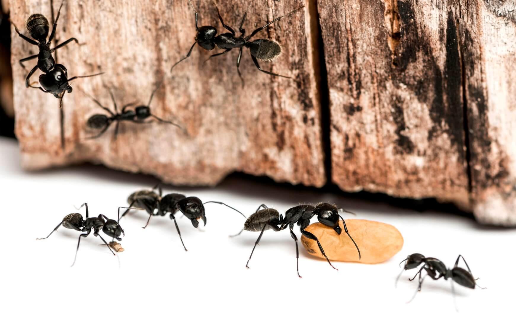 Как избавиться от муравьев в деревянном доме навсегда