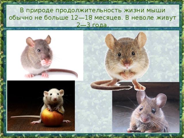 Сколько живут крысы, продолжительность их жизни