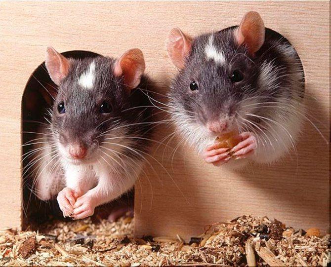 Сколько живут декоративные домашние крысы: как влияет уход и содержание на продолжительность жизни, чем кормить