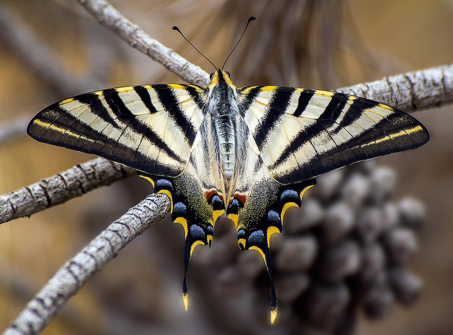 Подалирий (бабочка) — википедия