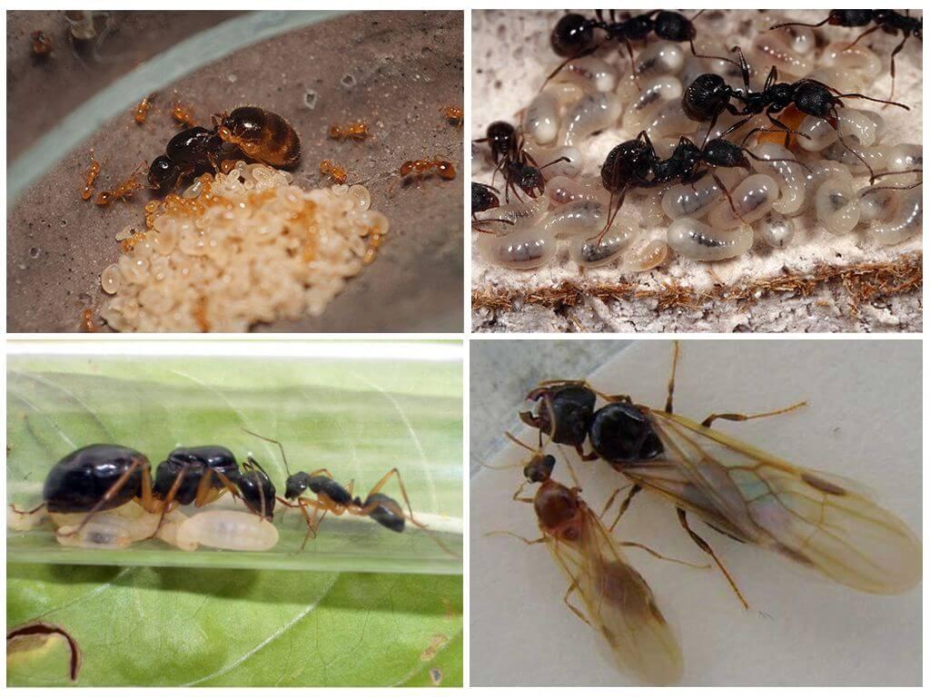 """Как избавиться от """"фараоновых"""" муравьев в квартире – способы решения проблемы"""