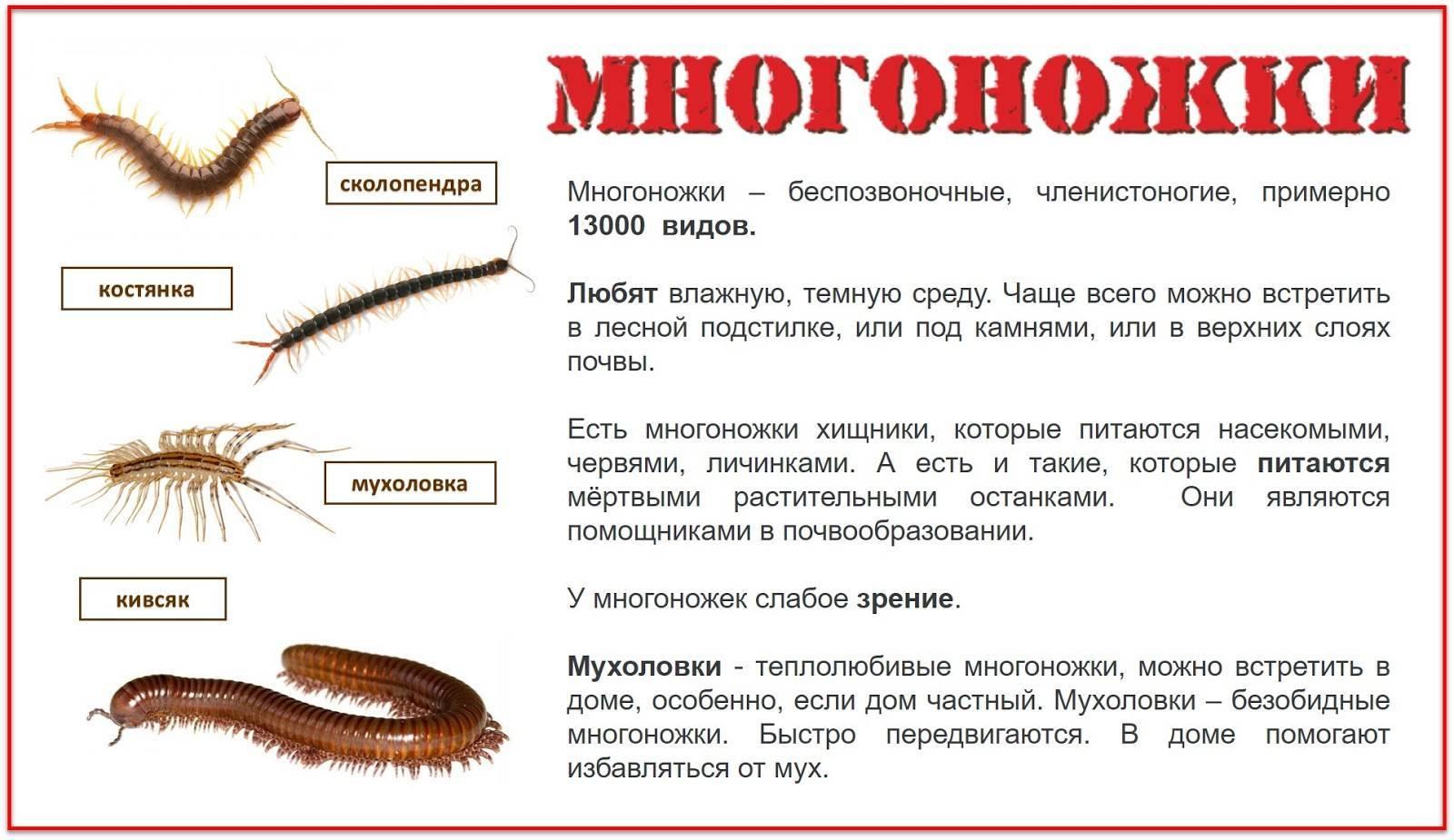 Сколопендра многоножка. описание, особенности, виды, образ жизни и среда обитания сколопендры