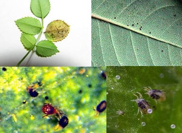 Паутинный клещ на комнатных растениях: как бороться, народные средства
