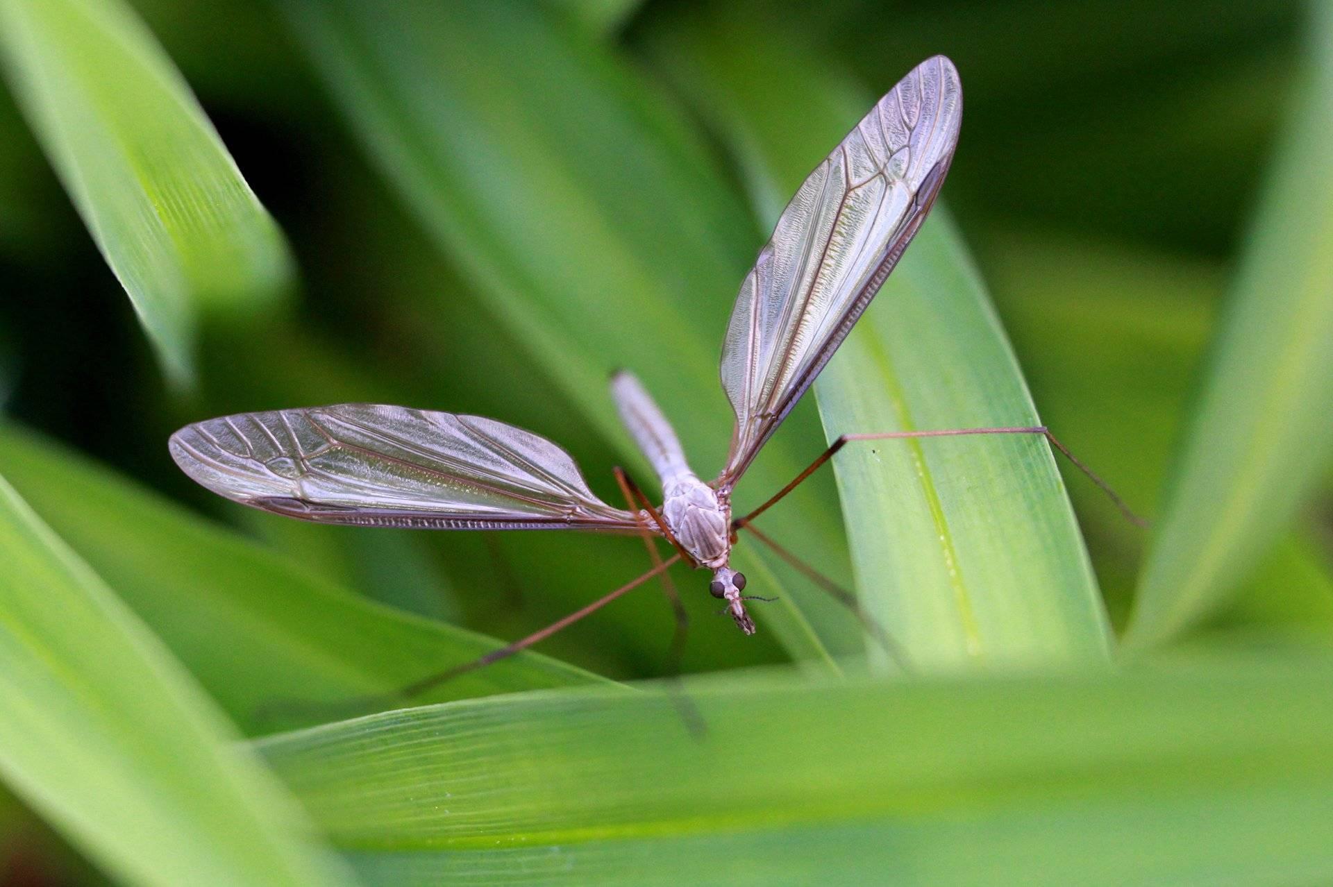 Комар долгоножка — чем опасен?