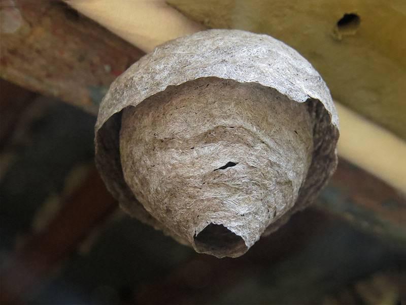 Зрение у осы: строение органов зрения жалящего насекомого